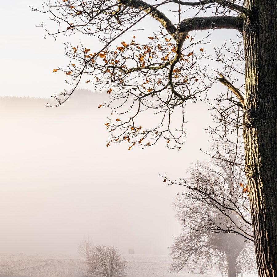 mist-misty-fog-oak-rust-leaves