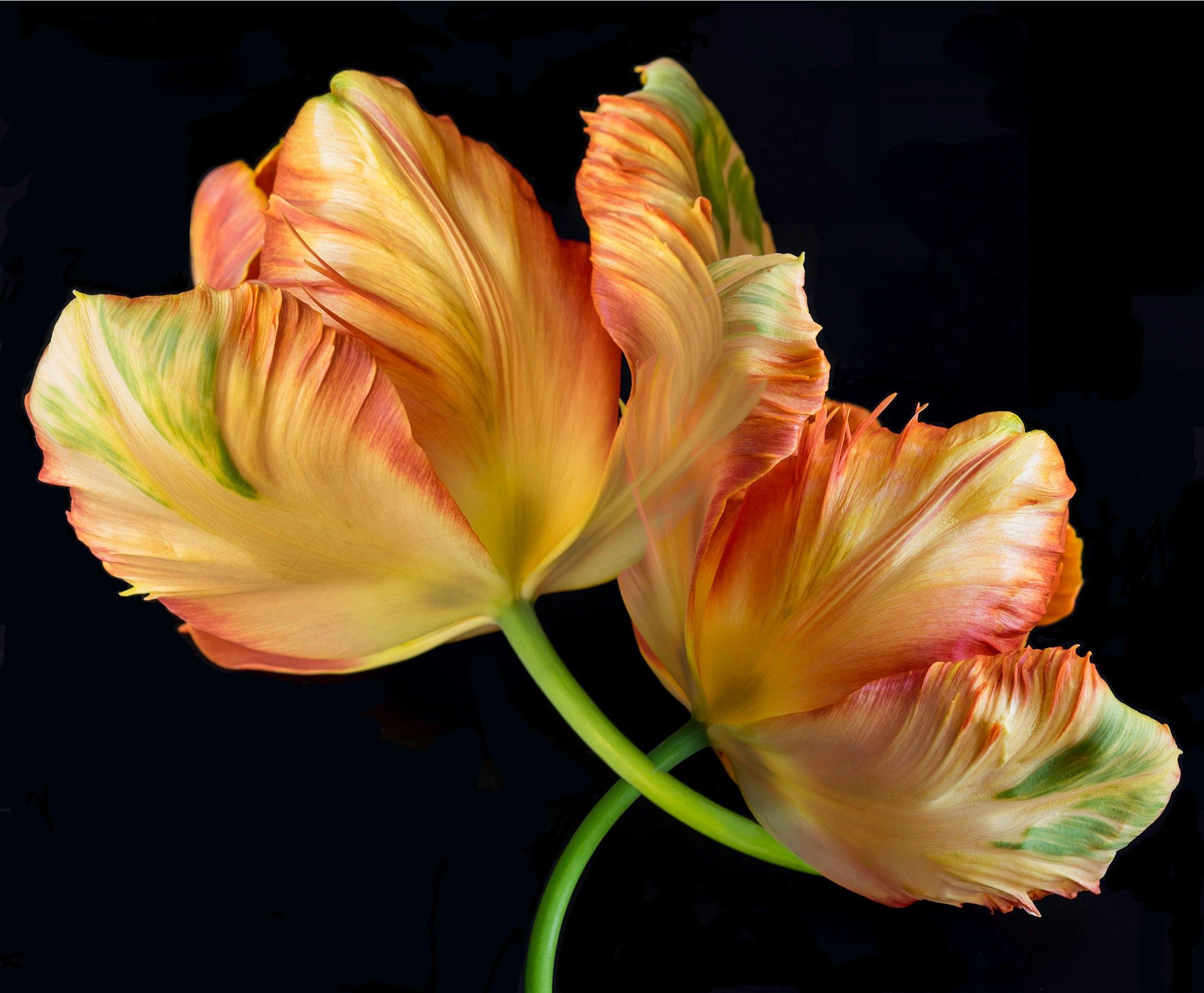 double-tulip-yellow-orange-black-background