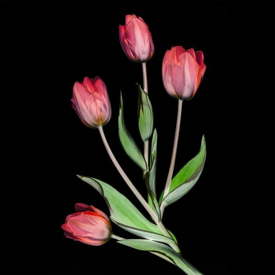 botanical-study-tulips-black-background