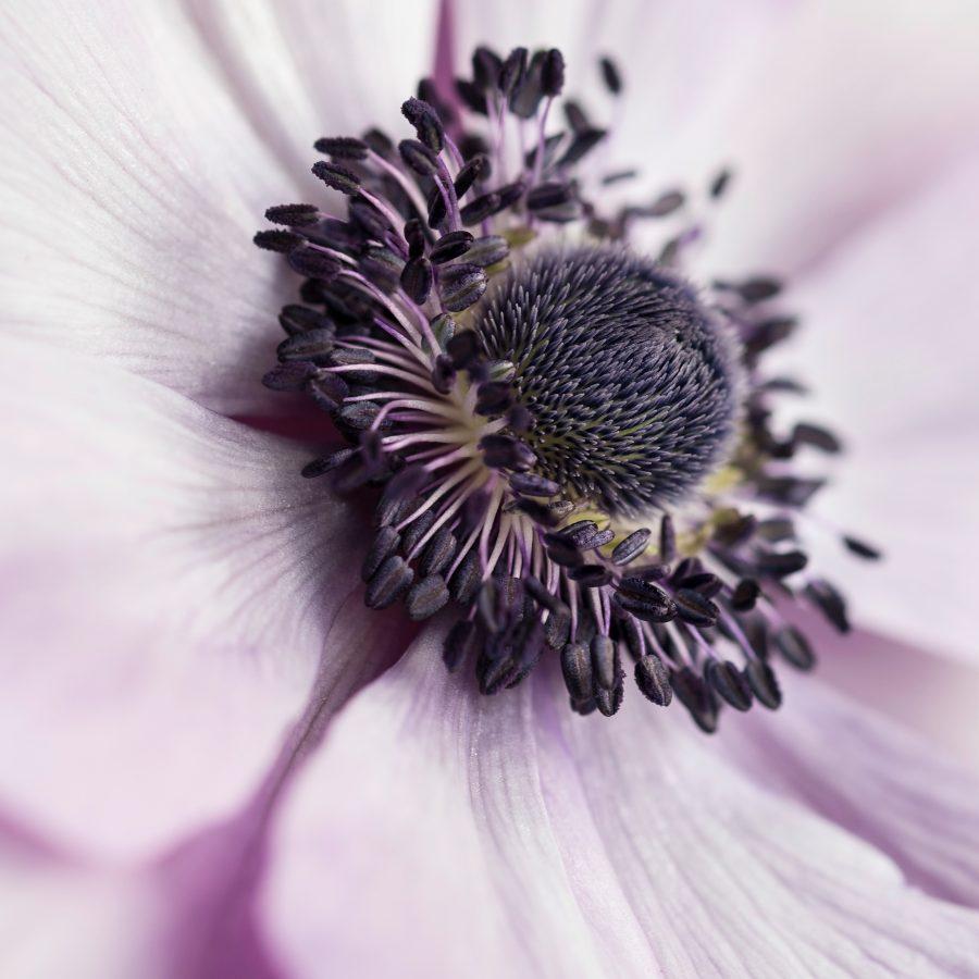 macro-pastel-purple-anenome-closeup