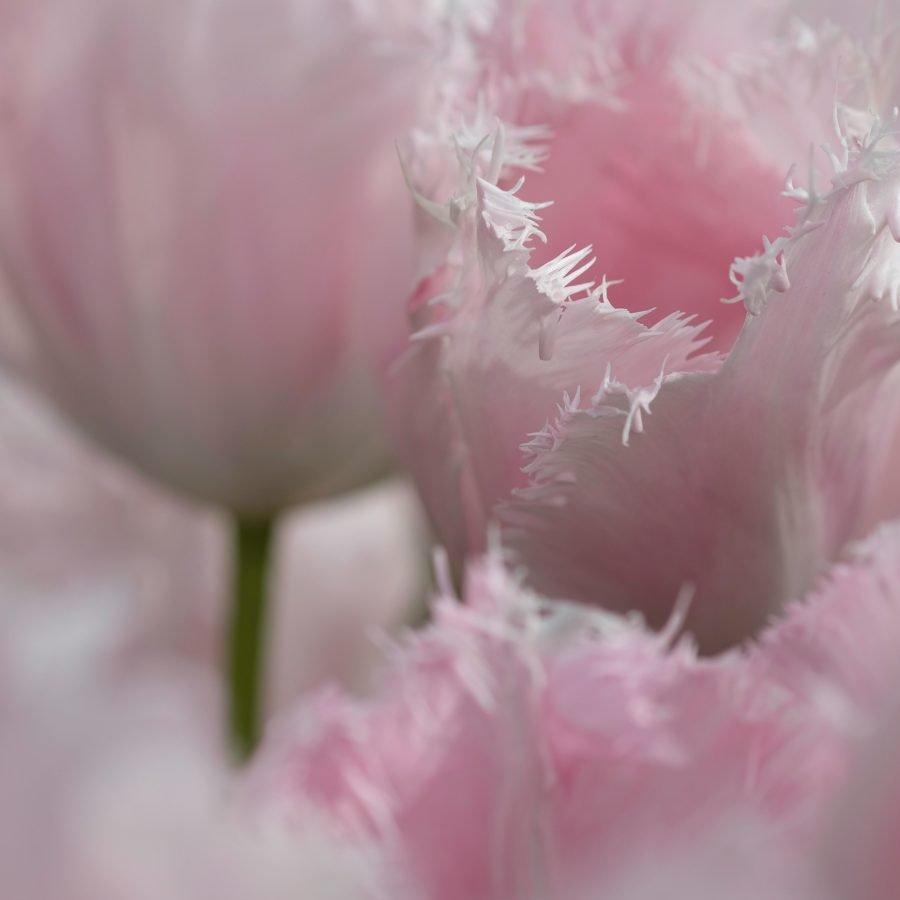 pale-pastel-pink-tulips-frilled-edge-macro